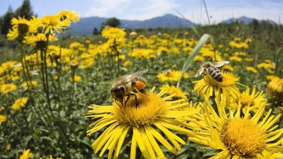 Ahí estan las abejas, libando nectar de la flor y polinizando con el culete